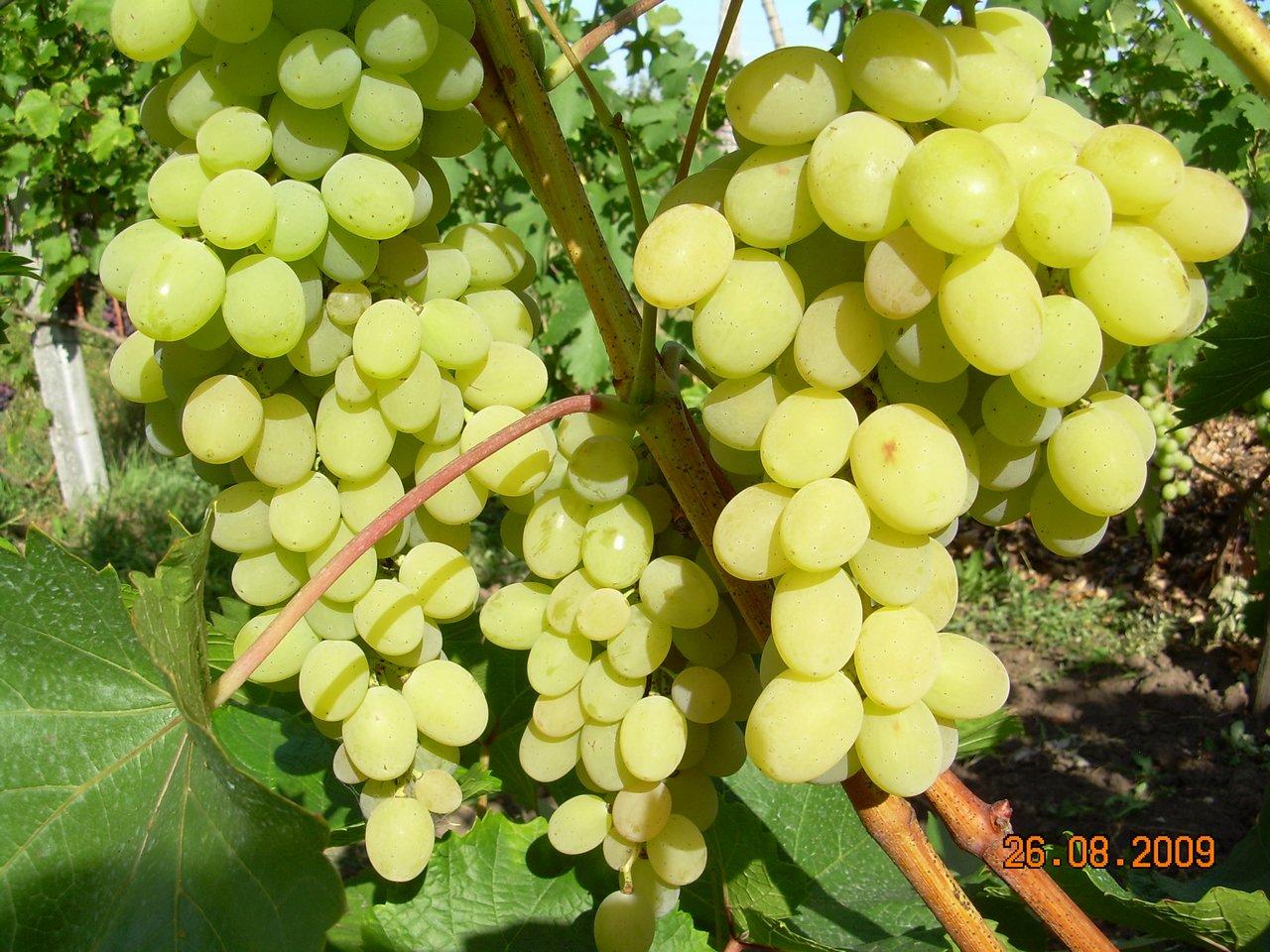 Виноград феномен  описание